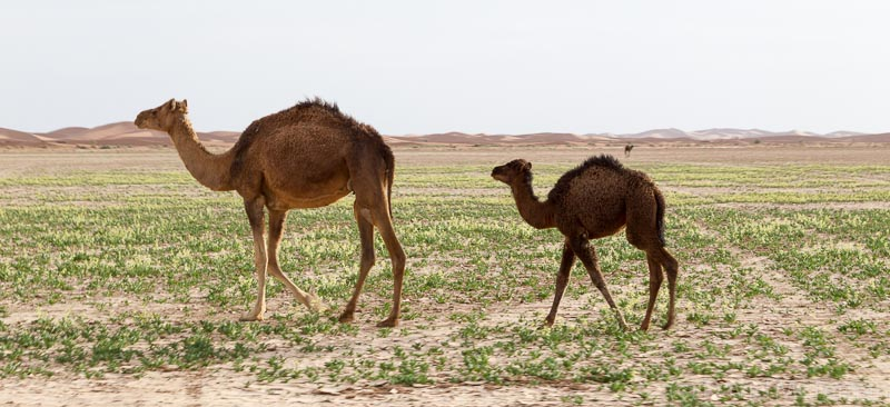 Cute baby camel with mum