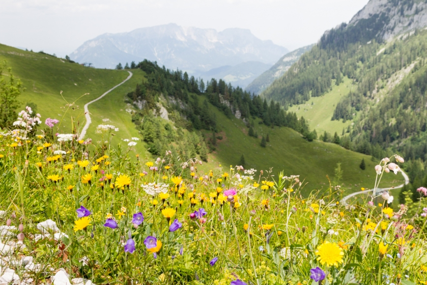 Alpine meadows in flower
